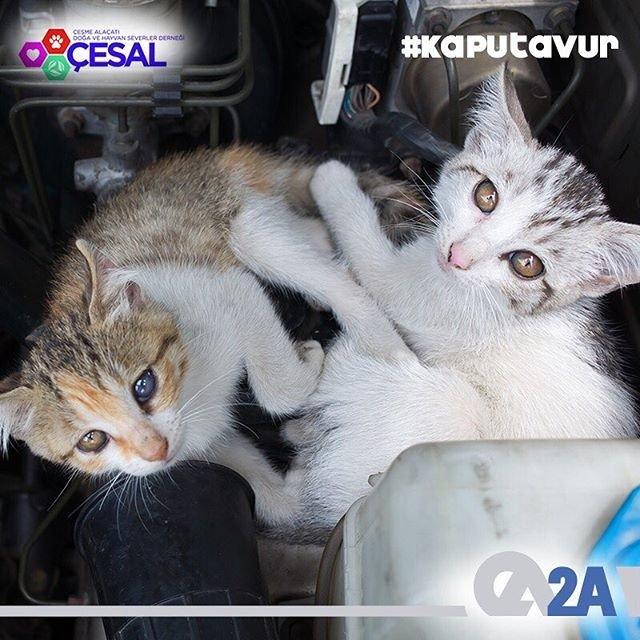 Soğuk günlerde kediler sıcak olduğu için araç kaportalarında uyuyabilirler. Bu nedenle kaputa vurmadan aracınızı çalıştırmayın. #KaputaVur #Cesal #BirKapMama #BirKapSu #SatınAlmaSahiplen 2A Mühendislik olarak @cesaldernegi'nin destekçisiyiz.
