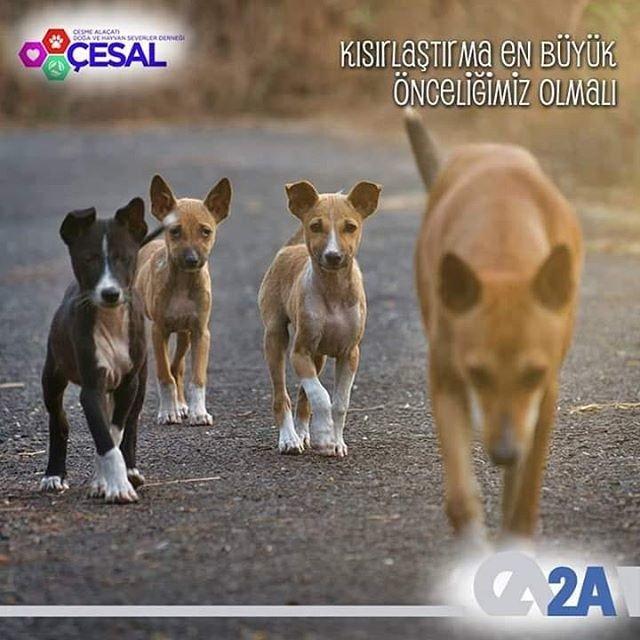 Kısırlaştırılmamış bir sahipsiz dişi köpekten 10 yılda 70.000 köpek üreyebileceğini biliyor musunuz? Kısırlaştırma en büyük önceliğimiz olmalı. 2A Mühendislik olarak CESAL'ın destekçisiyiz. #CESAL #2AMühendislik #BirKapSu #BirKapMama #SatınAlmaSahiplen